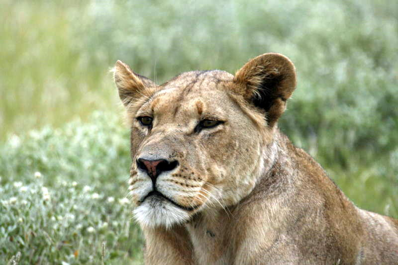 A beautiful lioness