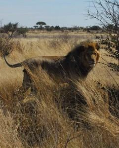 """Lion SM009 '""""Scar"""""""