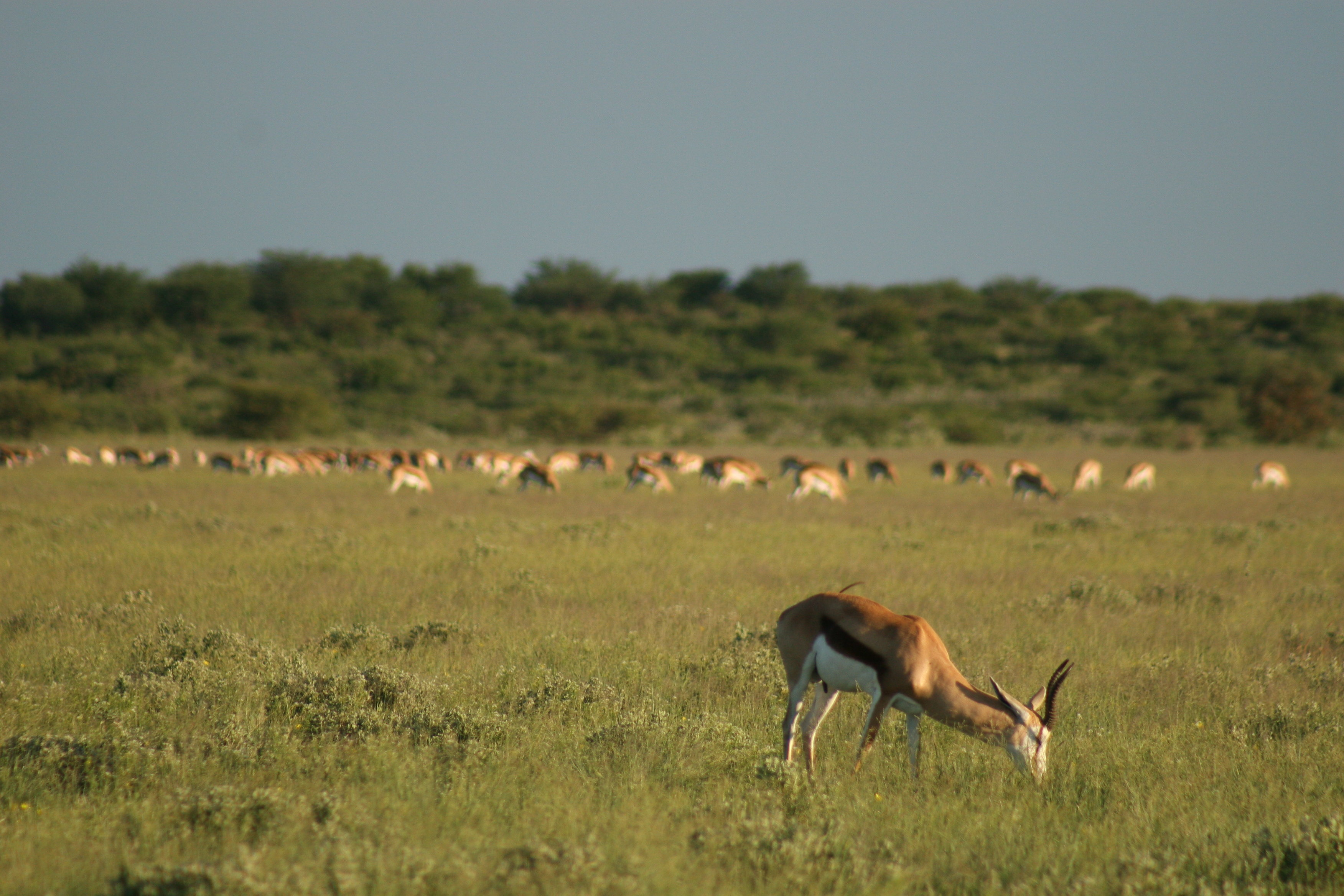Springbok on the pans of the CKGR
