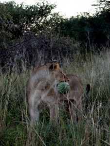 "Lioness JF013  ""Rata"""