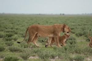 "Lioness SF010  ""Steph"""
