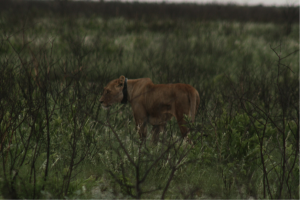 "Lioness HF012 ""Tata"""