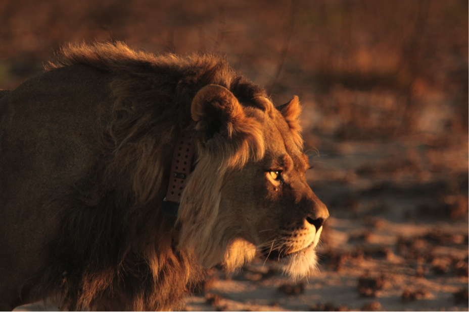 A handsome young lion with no field home range, he remained within the reserve for the entire study.